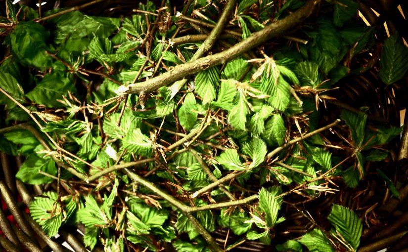 Forheksede bøgeblade snaps