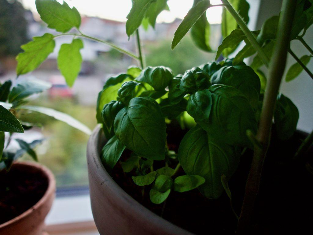 Basilikum i mit vindue