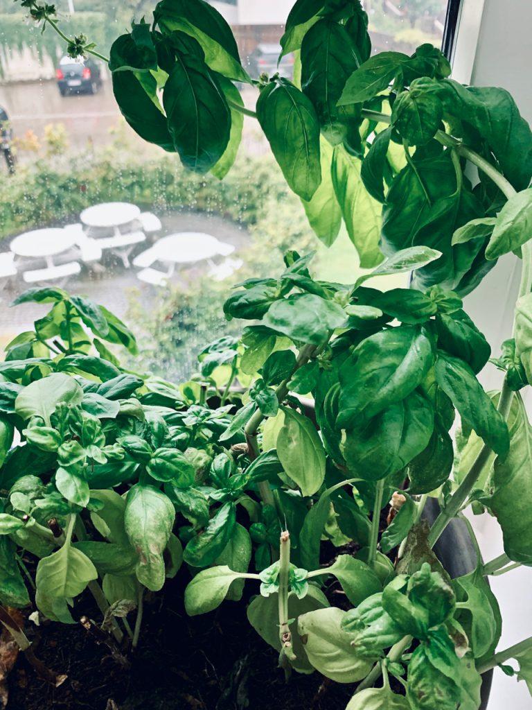 Basilikum i min vindueskarm